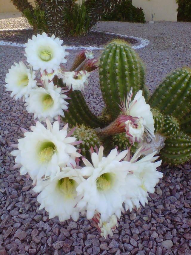 Cactus blossom 2011