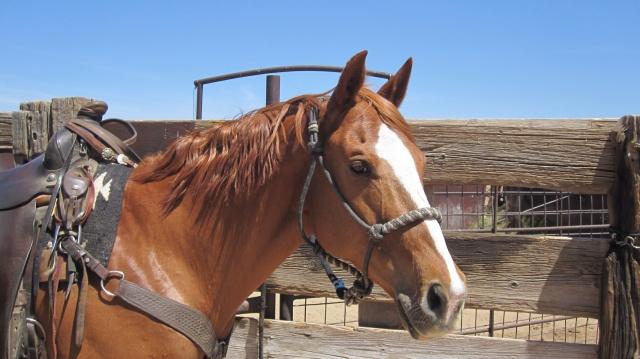Quarter horse mare, Annie Moses saddled ready to go