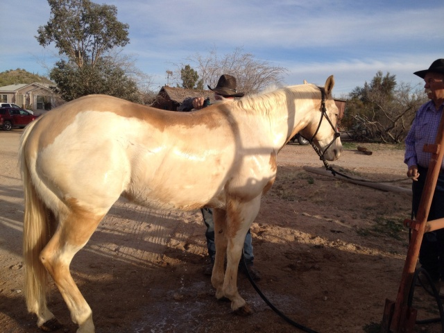 Baja, paint horse  lead to  wash hose